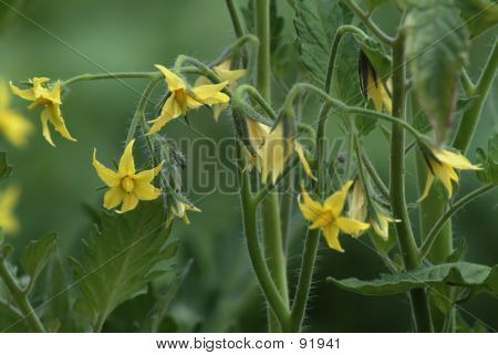 Truss Of Tomato Flowers