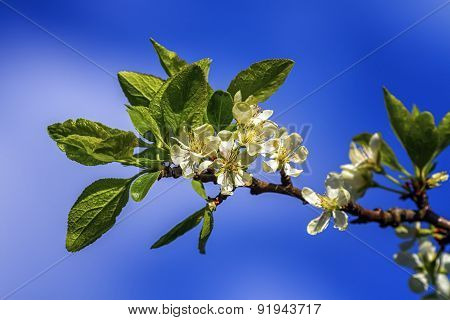 Prunus domestica Czar flowers