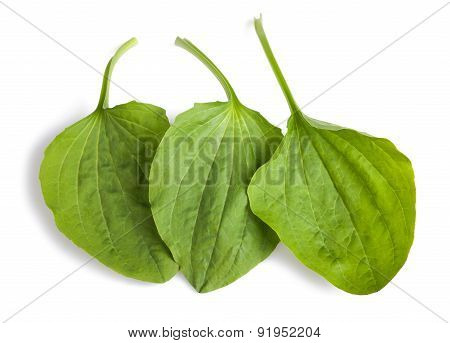 greater plantain leaves isolated on white background poster