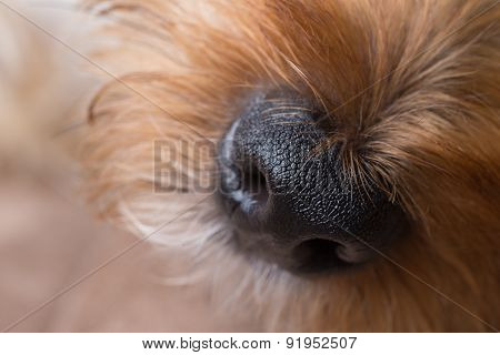 Yorkshire Terrier Nose