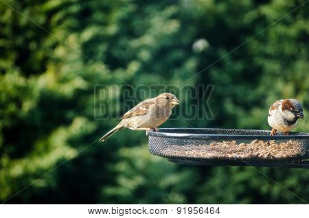 Two Sparrows Eating Seeds From A Bird Feeder In The Garden With Green Foliage Background