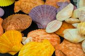 this picture is the Pecten Nobilis Reevecolor shellfish poster