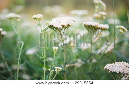 milfoil growing in the meadow, nobody, outdoors,