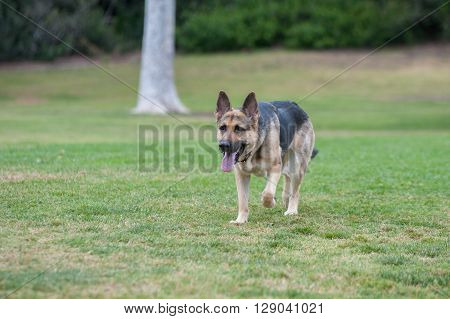 German Shepard puppy running across the grass