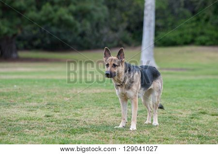 German Shepard puppy looking across the grass