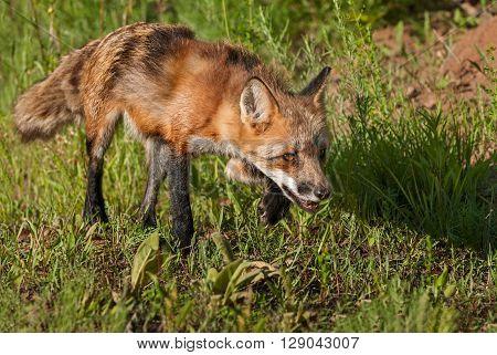 Red Fox Vixen (Vulpes vulpes) Stalks Right - captive animal