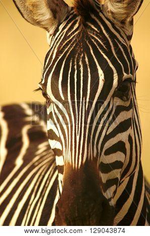 Burchell's Zebra close-up, Amboseli National Park, Kenya