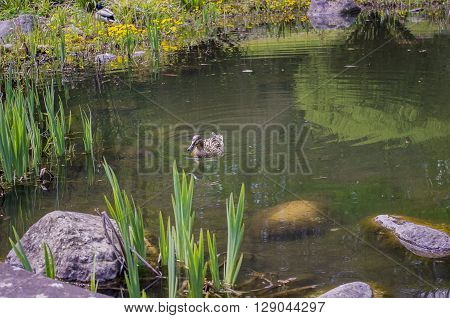 Wild duck in a layer of floating aquatic plant lesser duckweed