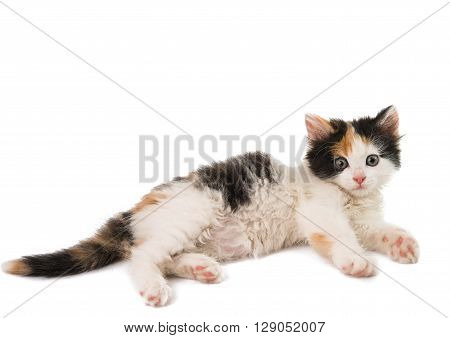 little kitten on white background, going, interested,