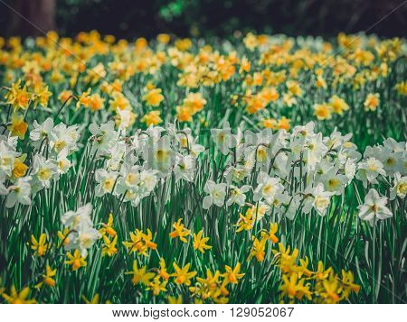 Yellow and white daffodils blooming in spring in the park