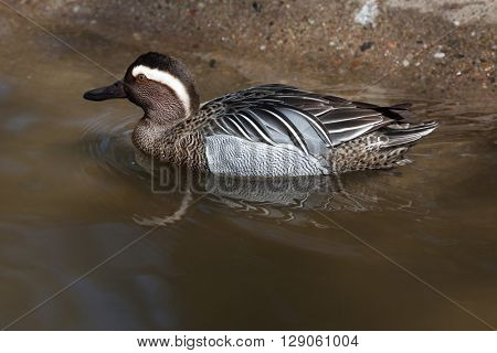 Garganey (Anas querquedula). Wild life animal.