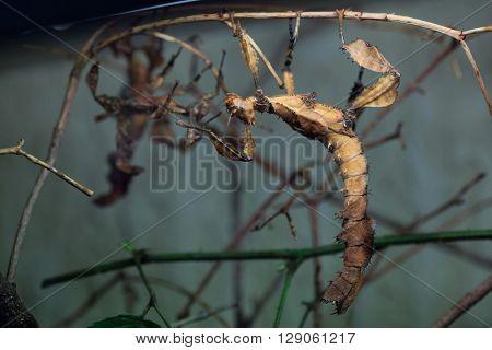 Giant prickly stick insect (Extatosoma tiaratum), also known as the Australian walking stick. Wild life animal.