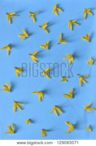 Yellow spring forsythia flowers isolated on blue background