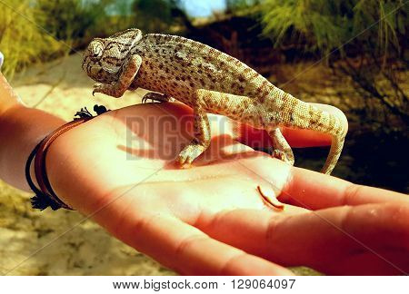 chameleon of Huelva  endangered species . nature animal