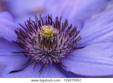 Close up photo of the clematis flower