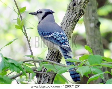 Blue Jay in forest of Mclean near Washington DC 3 May 2016 USA