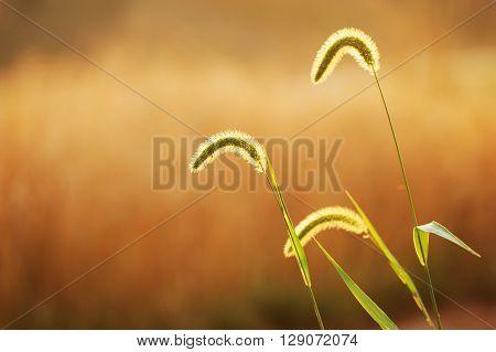 selective focus of foxtail grass under dusk sunlight