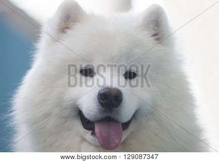 Portrait of Smiling Sammy dog isolated over blue background