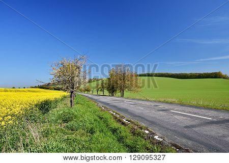 Asphalt road near a field with beautiful rapeseed flowers (Brassica napus) (Brassica napus)