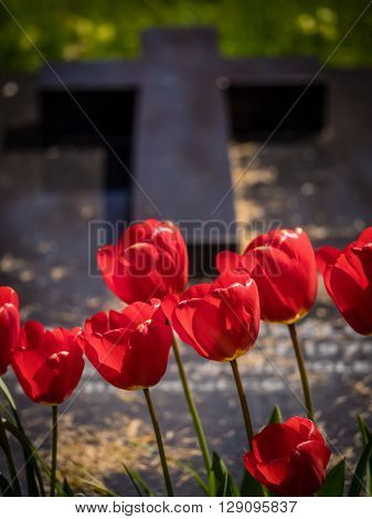 Red tulips growing in front of a grave in a cementery in England