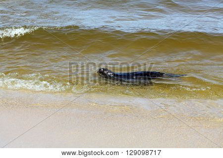 Otter floating in Baltick sea