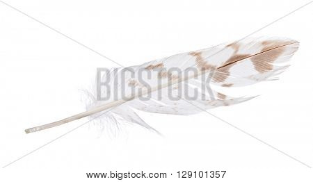 light feather with brown spots isolated on white background