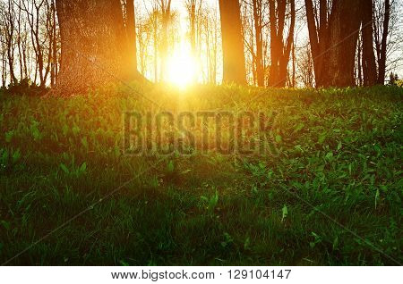 Forest sunset landscape - forest trees with grass on the foreground and sunset light shining through the trees. Spring picturesque sunset forest landscape.
