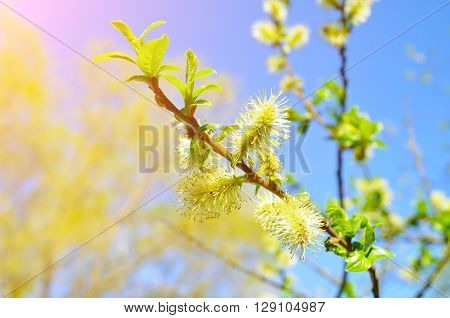 Closeup of yellow fluffy buds of willow on the background of the blue sky in sunshine. Spring colorful natural landscape. Focus at the central buds. Shallow depth of field.