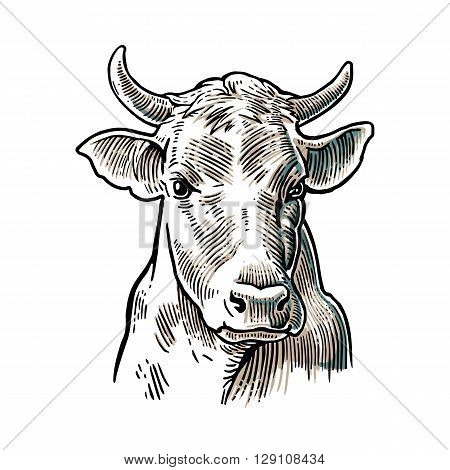 Cows head. Hand drawn in a graphic style. Vintage vector engraving illustration for info graphic poster web. Isolated on white background
