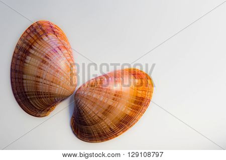 Two mollusc shells isolated against a white background placed to resemble butterfly wings