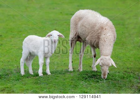 Sheep with her calf grazing on a green meadow