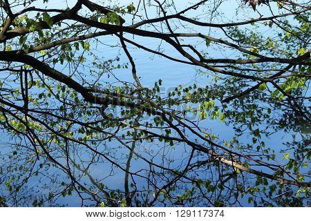 welter of branches of trees and their reflections on the water surface in spring