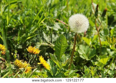 one dandelion with fluff and some other ones still blooming