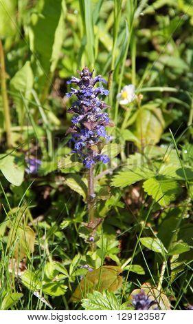 nice blooming blue bugle (Ajuga genevensis) in spring