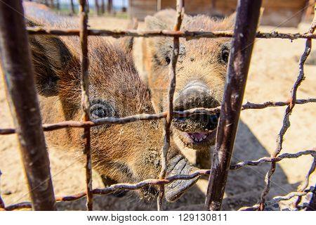 Animal Red Pig