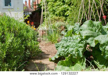 Organic vegetables growing in the allotment or vegetable patch