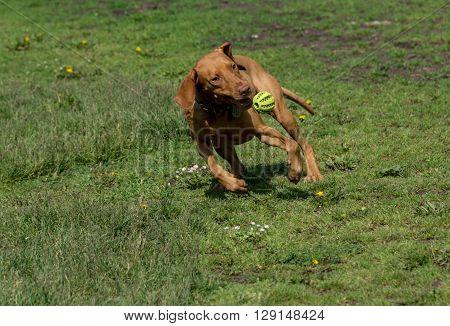 Hungarian Vizsla dog with ball playing on green grass.