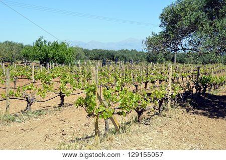 Vineyards in flowers in the Cretan campaign in Greece.