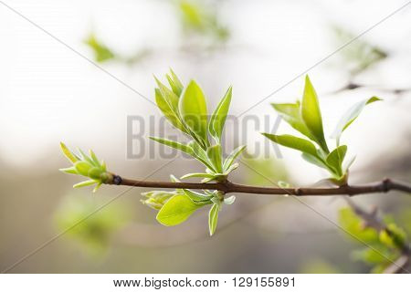 Lilac branch with fresh green leaves. spring garden scene and new life concept. soft pastel background. macro view