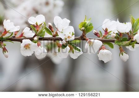 Blooming ornamental plant. Mountain cherry branch with blooming white flowers. Nanking cherry, Prunus tomentosa deciduous shrub. macro view