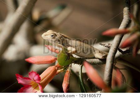 Indian Chameleon (Chamaeleo zeylanicus) on tree branch.
