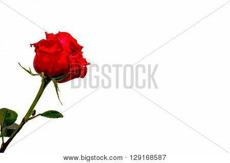 red rose isolated on white background with the effect of pasteurization