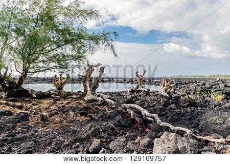Ironwood Roots On Lava