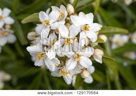 Mexican Orange Blossom Choisya Ternata white flower