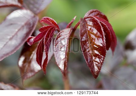 rosebush red leaves without treatment, good health
