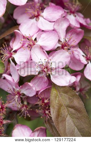 apple tree flower pink green leaf close up
