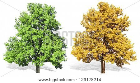 Trees at spring or summer and autumn,  isolated on white