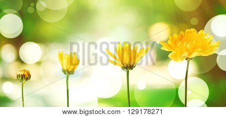 Yellow flowers on blurred green nature background, stages of growth concept