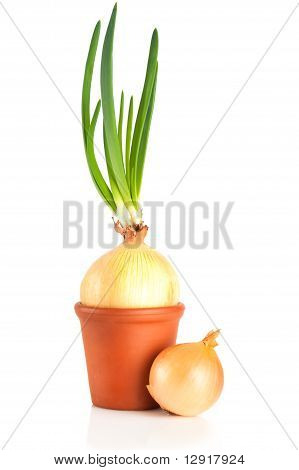 Onion With Sprouts