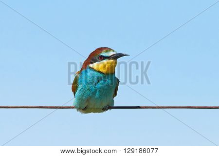 European bee-eater (Merops apiaster) sitting on a wire with blue skies in the background